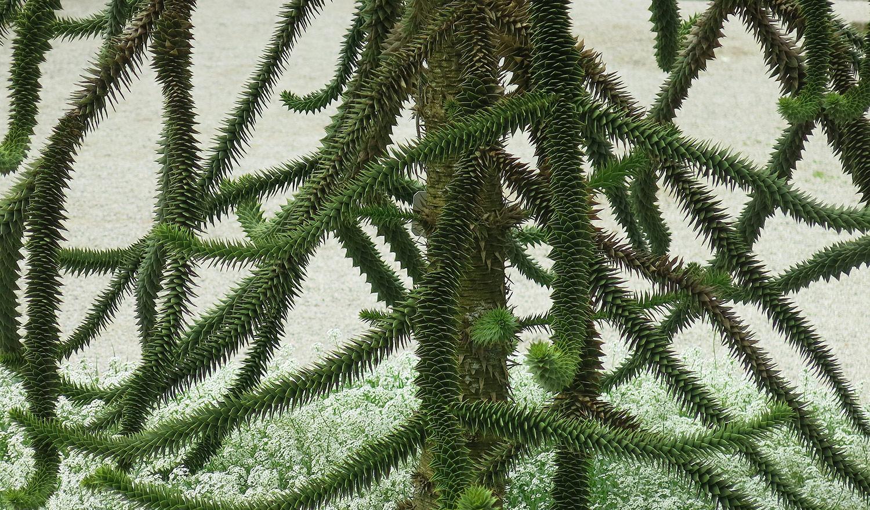Araucaria-aruacana-32-