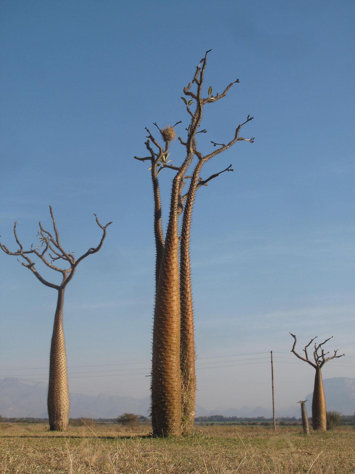 Pachypodium lamerii 33