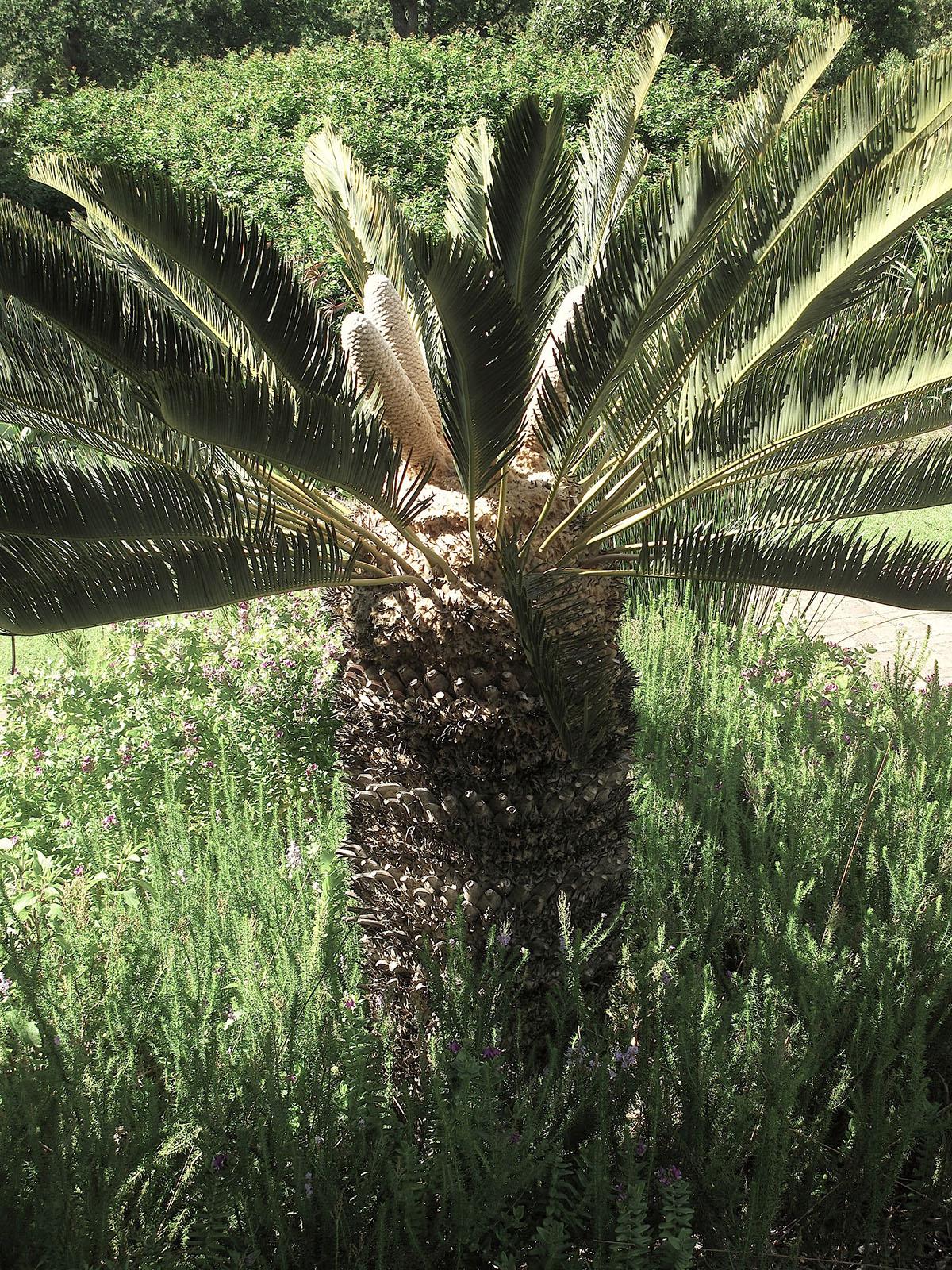 Encephalartos friderici-guilielmi 64