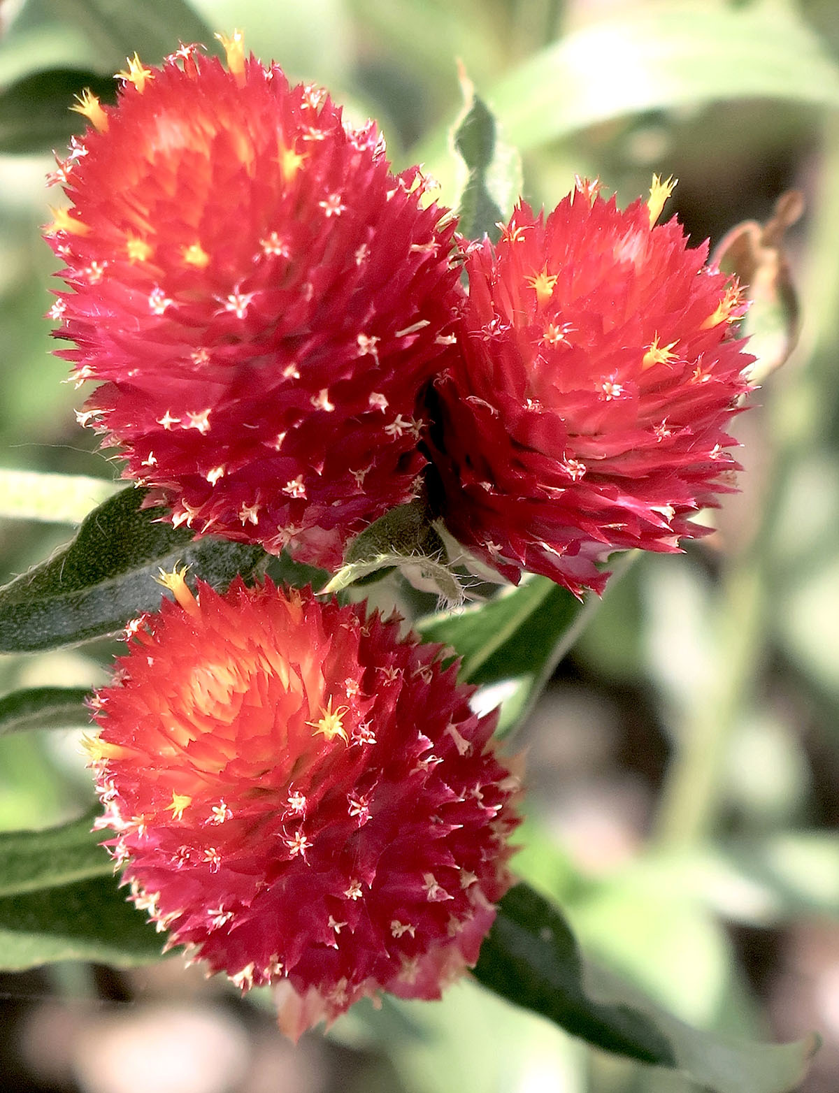 Gomphrena ' Strawberry Fields' 25
