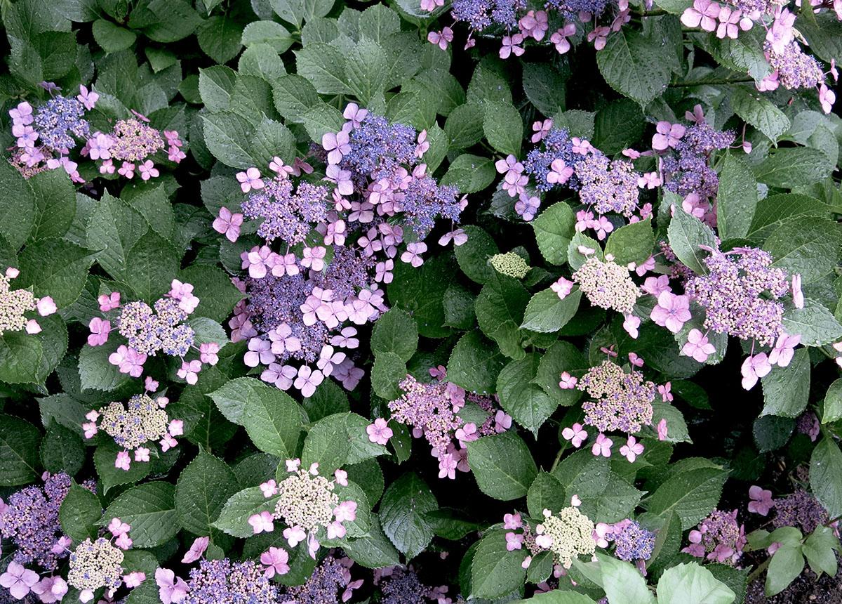 Hydrangea macrophylla serrata Bluebird 25