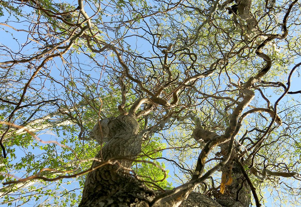 Salix matsudana tortuosa 7