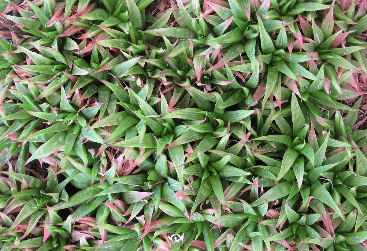 Haworthia turgida turgida 4 1