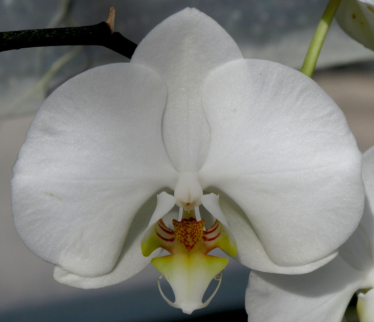 Phalaenopsis Maki Watanabe Carmela 3