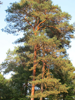 Pinus sylvestris 7