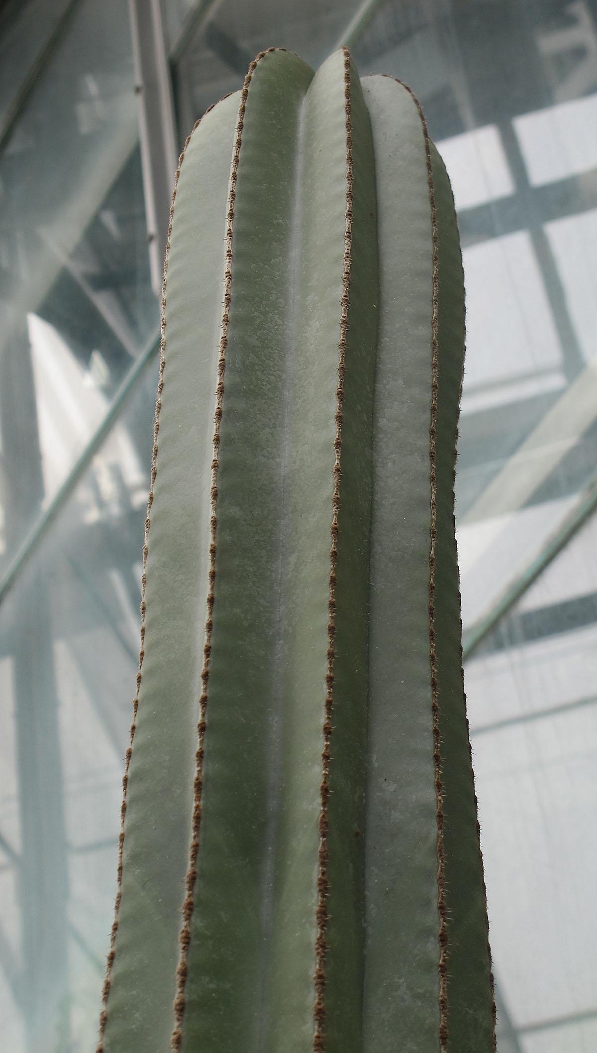 Pachycereus marginatus 3