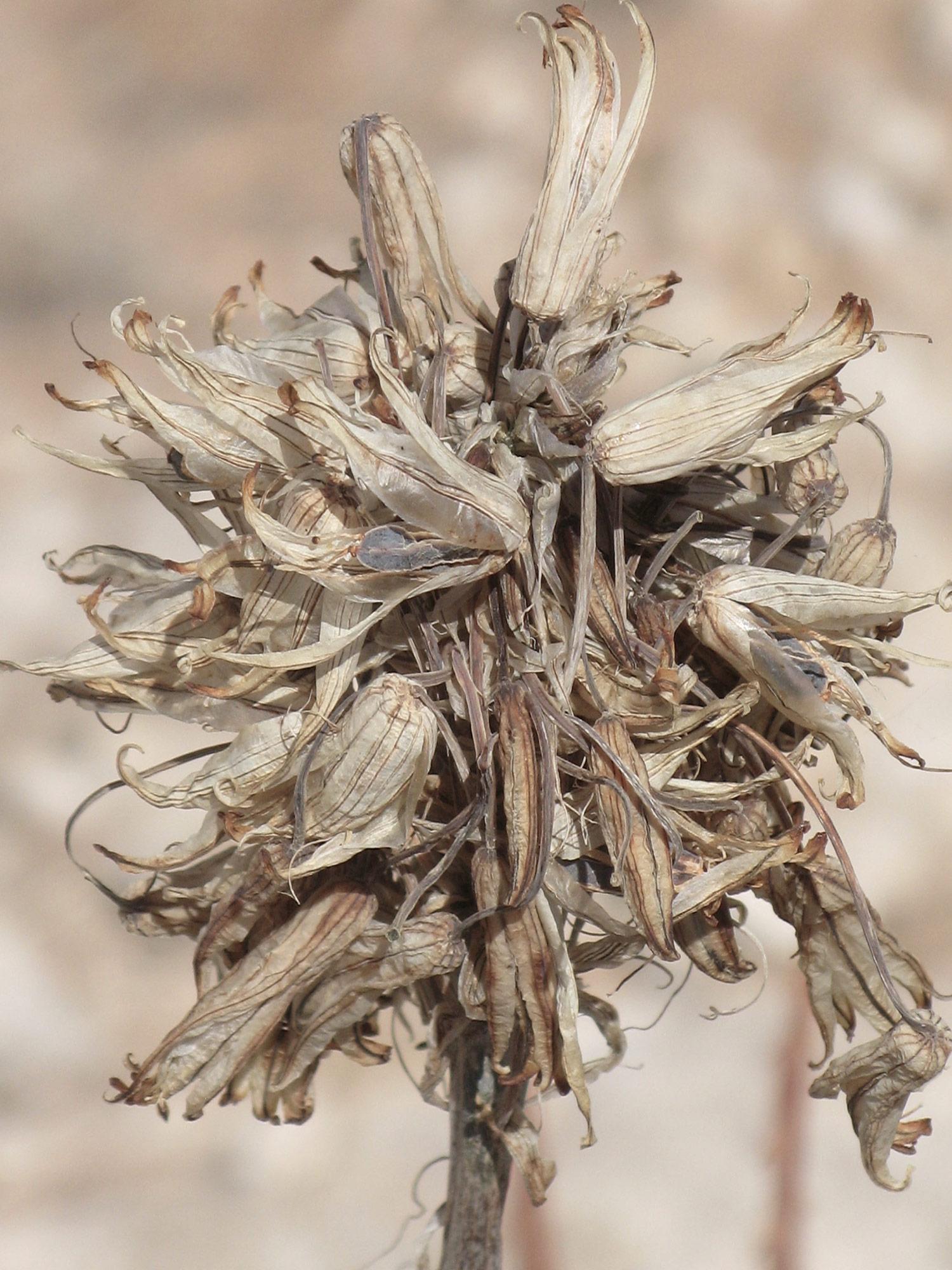 Aloe-hereroensis-20-