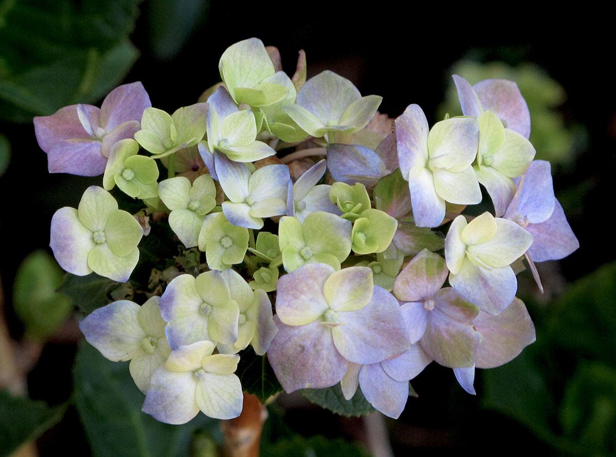 Hydrangea macrophylla macrophylla 36