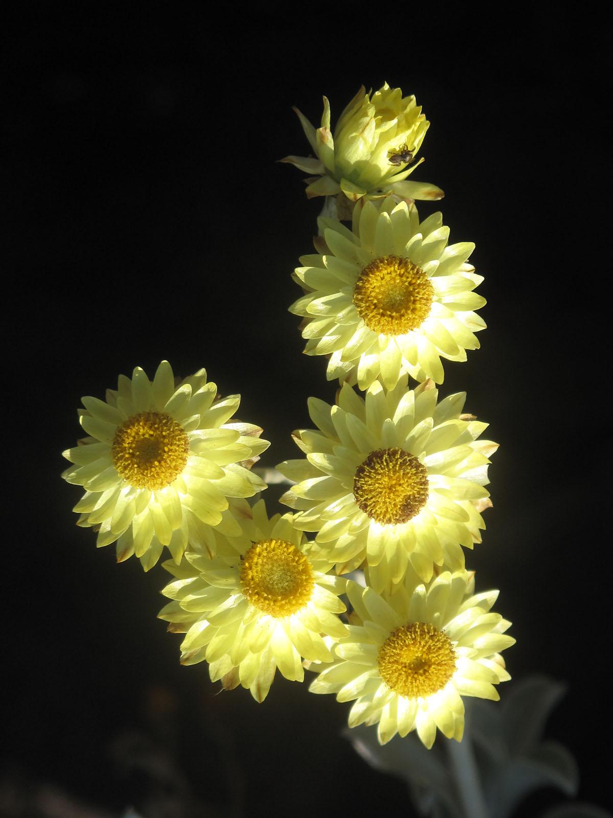 Helichrysum argyrophyllum 8