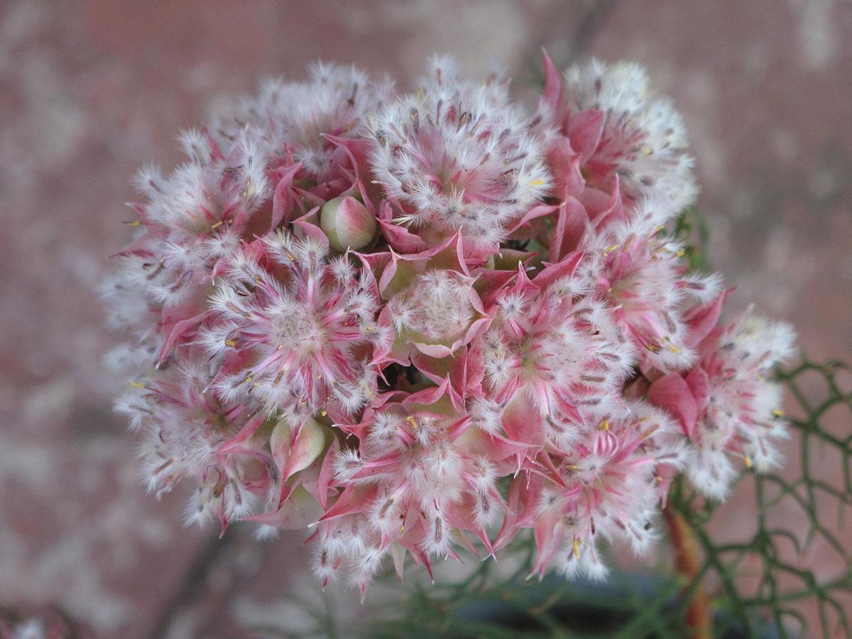 Serruria florida 31