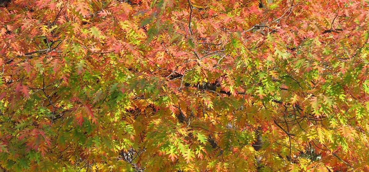 Quercus rubra 13
