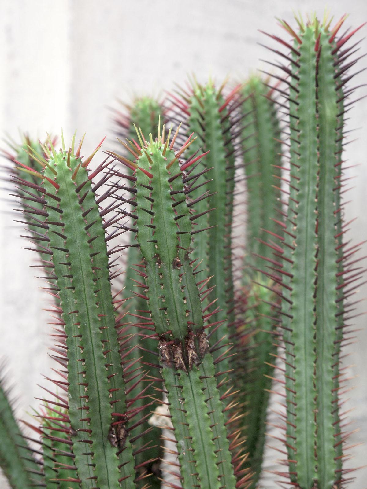 Euphorbia atrispina 4