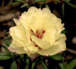 Portulaca grandiflora 51
