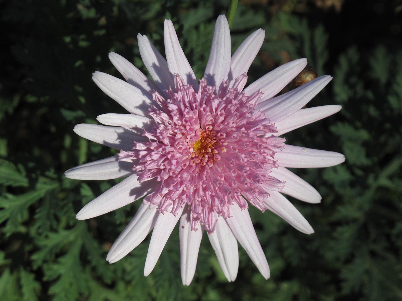 Argyranthemum-X-'Rosalind'-8-