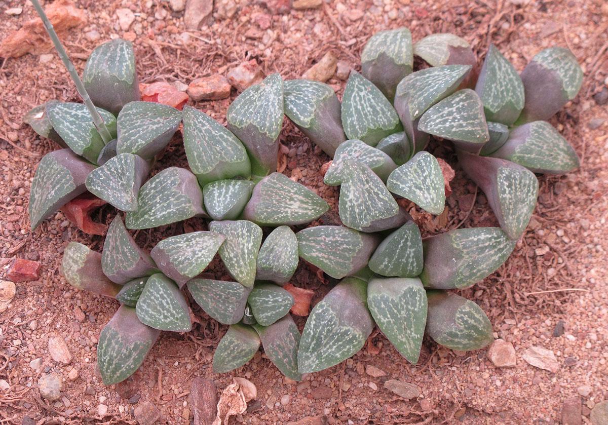 Haworthia pygmaea argeonto-maculosa 3