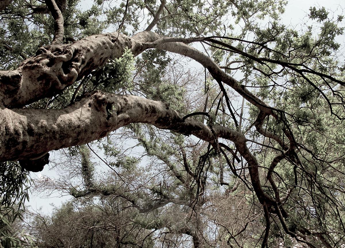 Combretum erythrophyllum 139