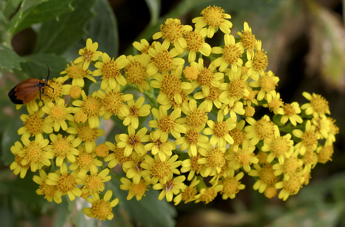 Chrysanthemoides monilifera 19