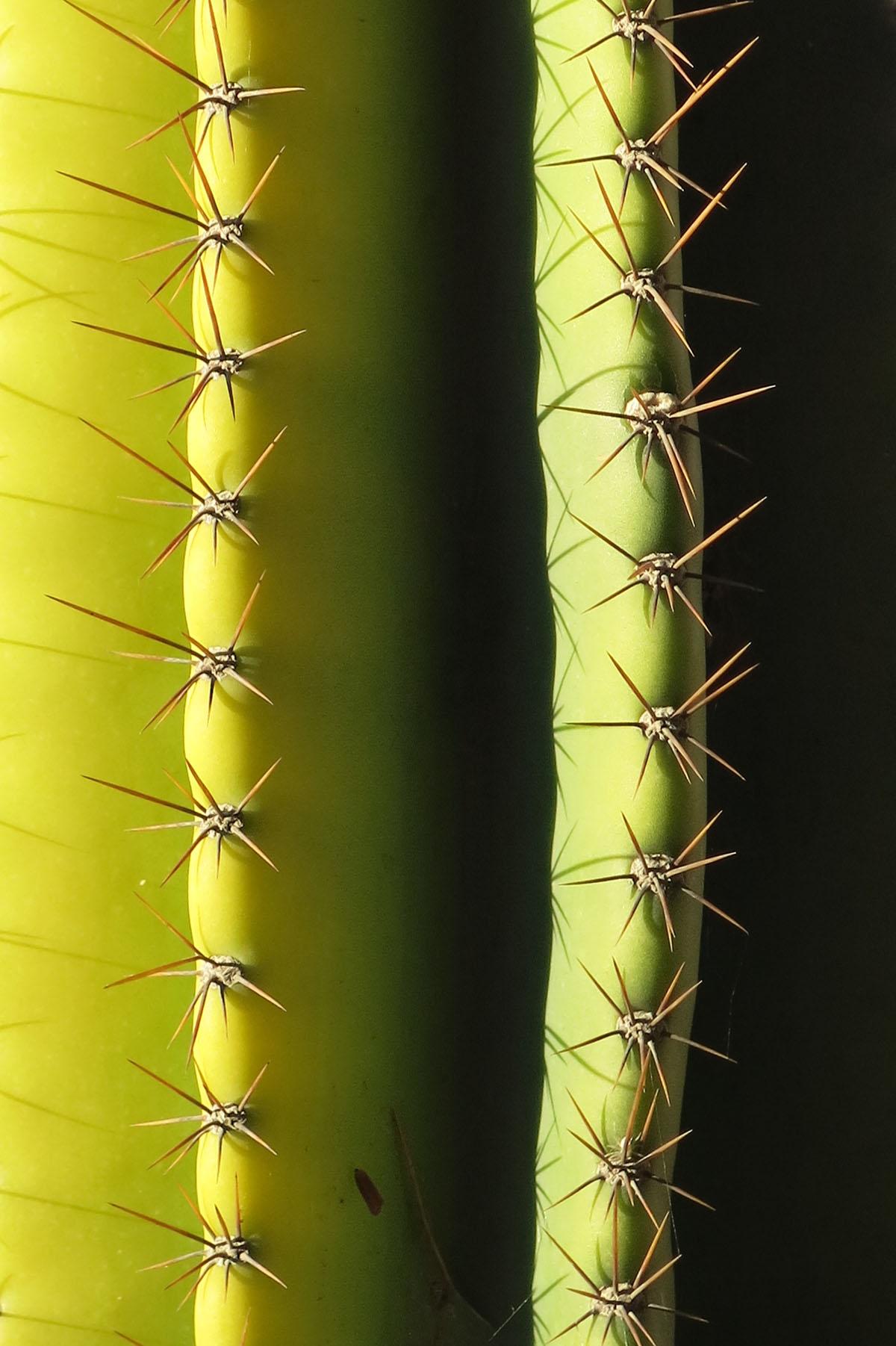 Cereus peruviana 11