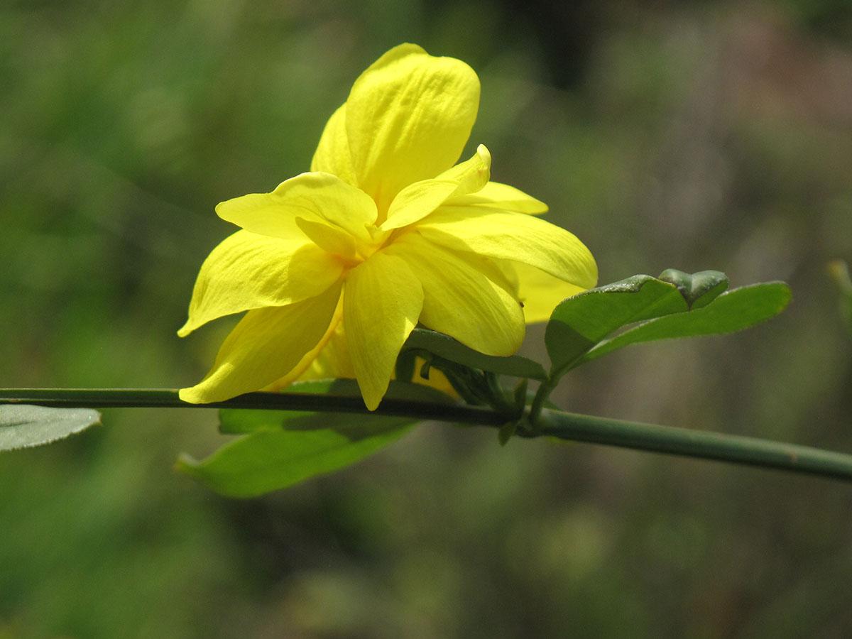 Jasminum nudiflorum 19