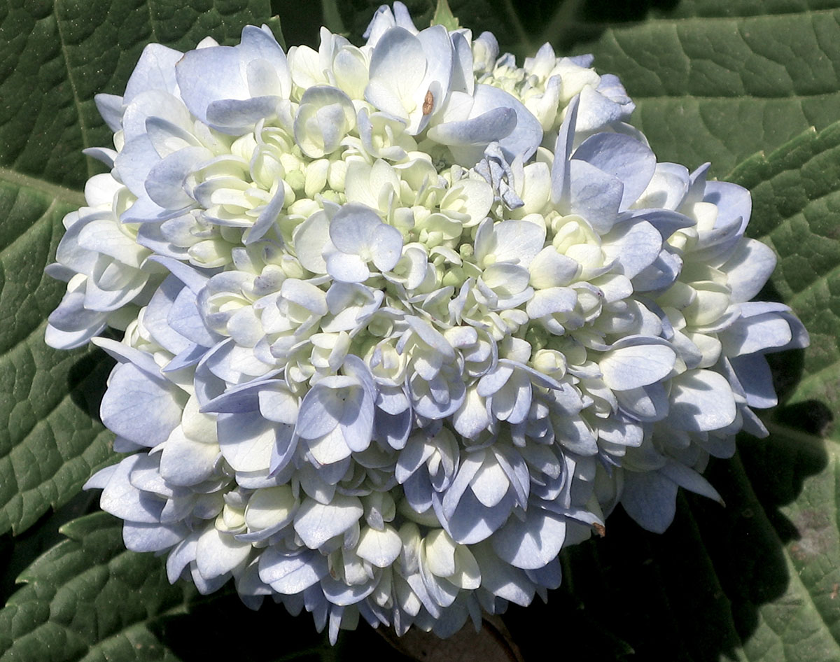 Hydrangea macrophylla macrophylla 8