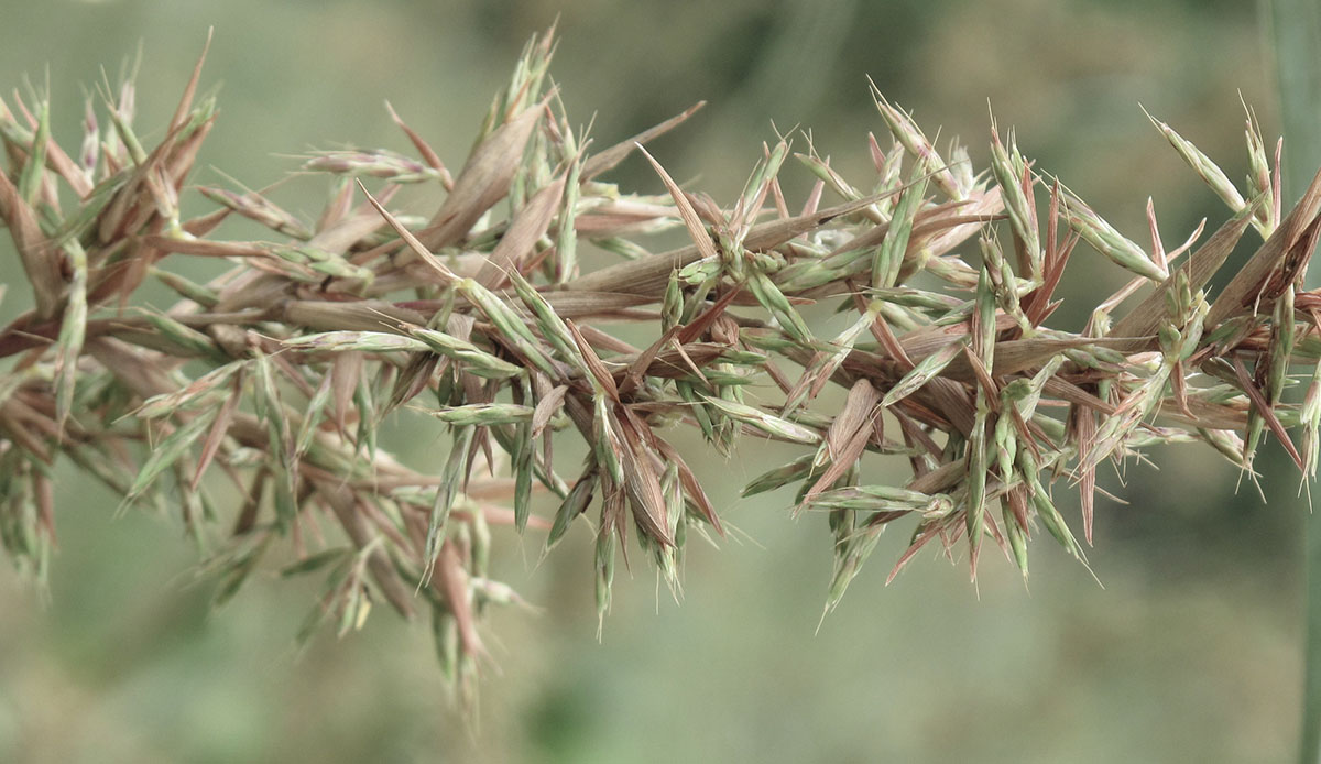 Cymbopogon validus 41