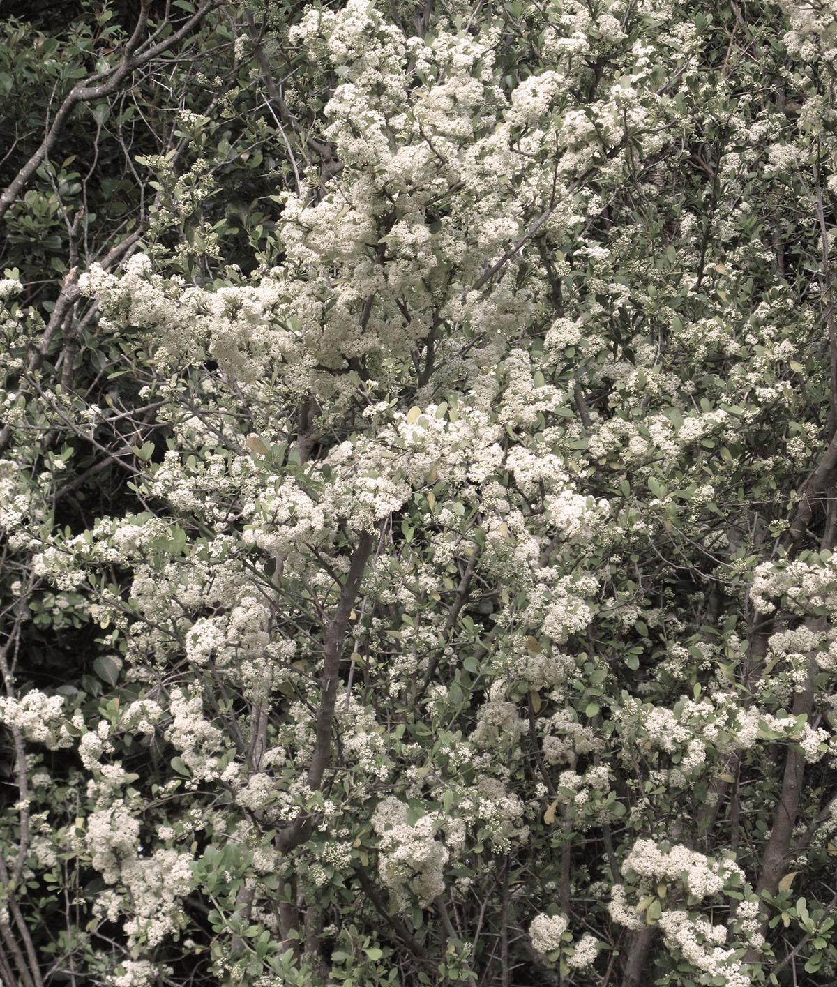 Gymnosporia buxifolia 22