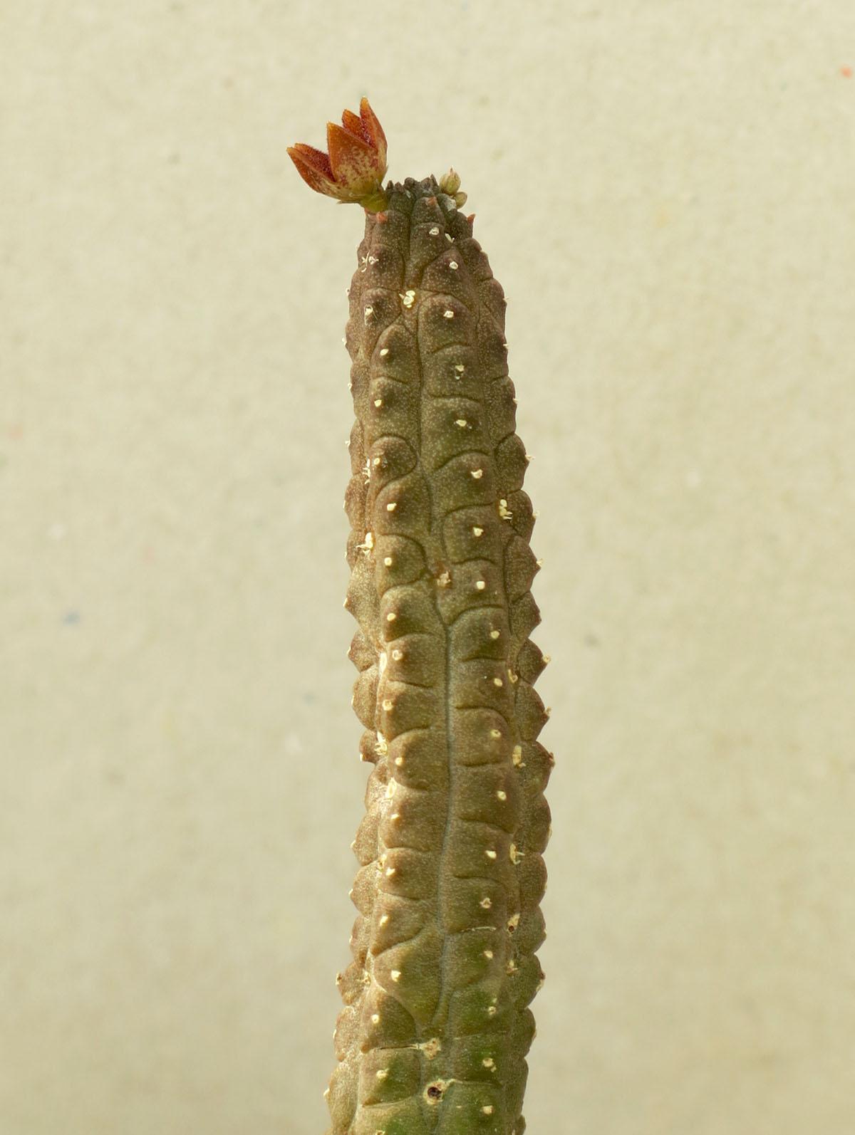 Echidnopsis sp 3