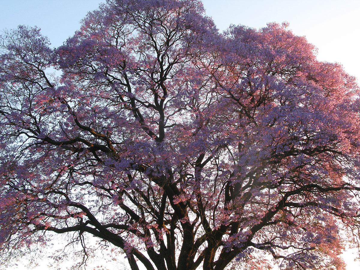 Jacaranda mimosifolia 78