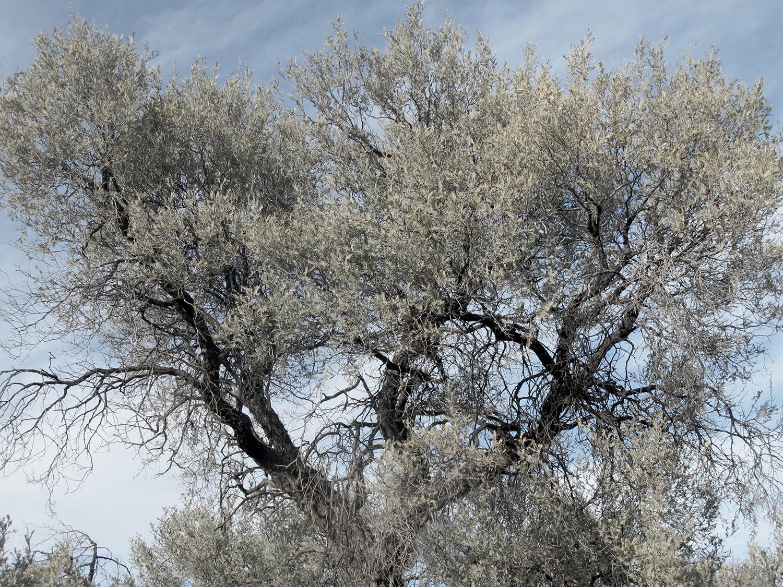 Acacia-haematoxylon-43-
