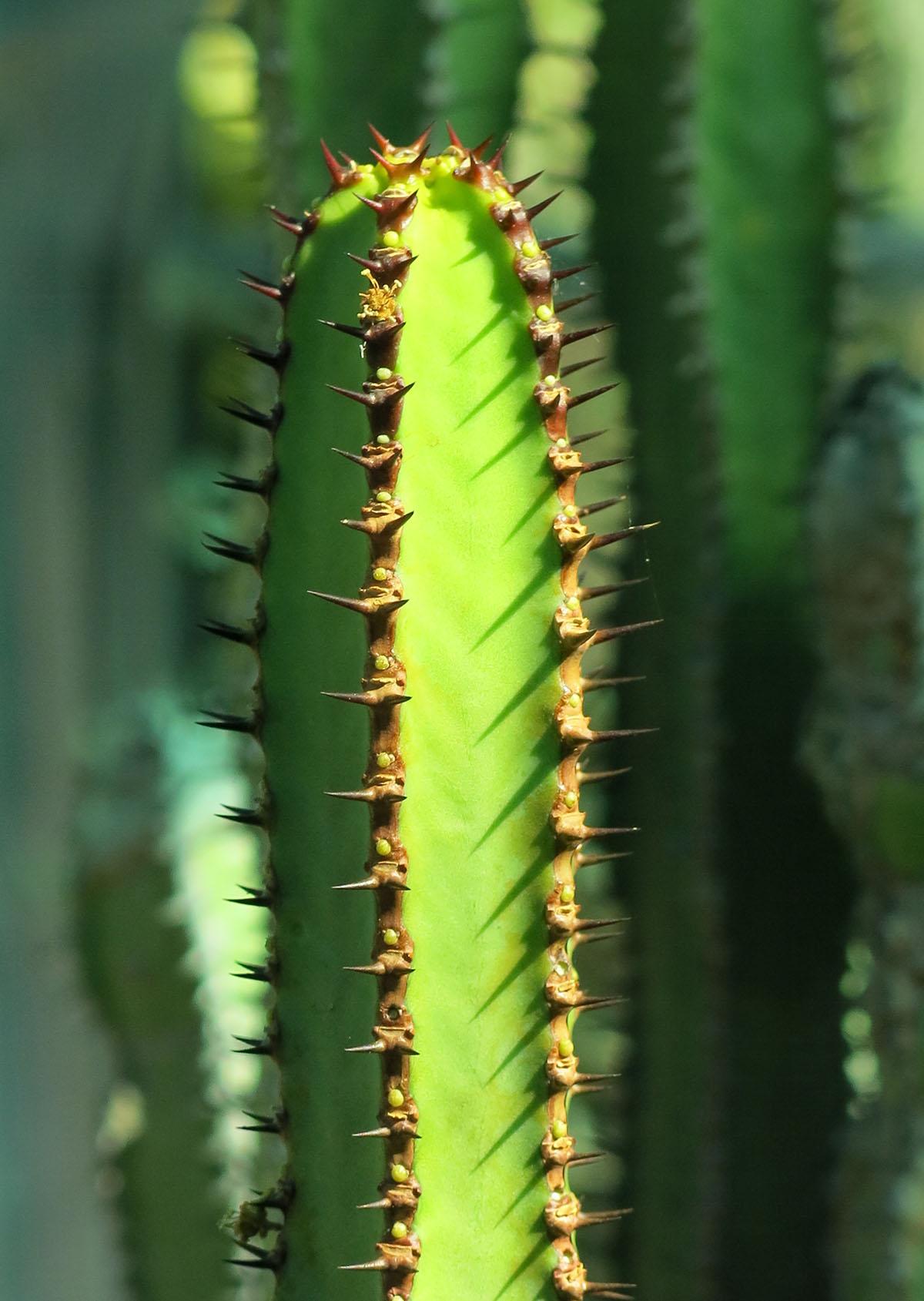 Euphorbia hottentota 4