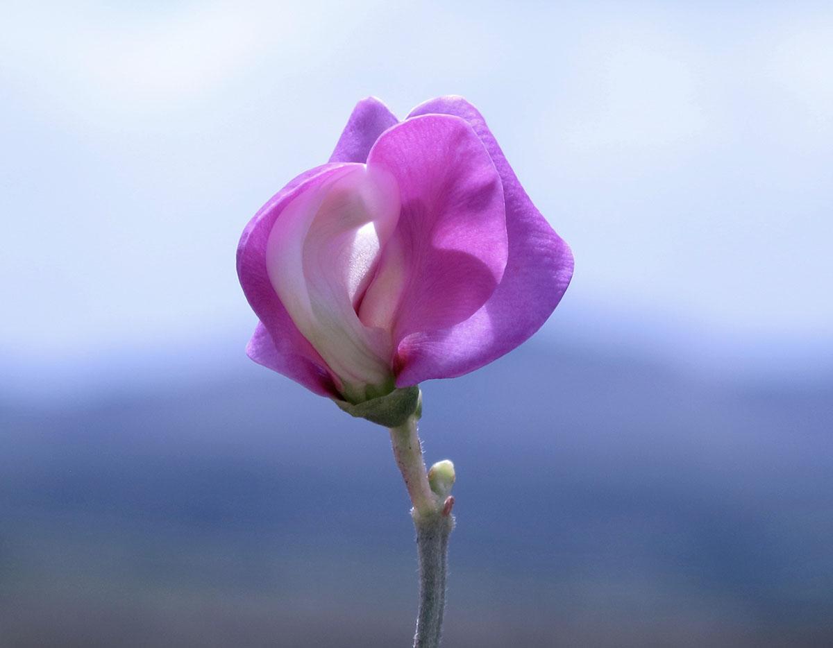 Sphenostylis angustifolia 34