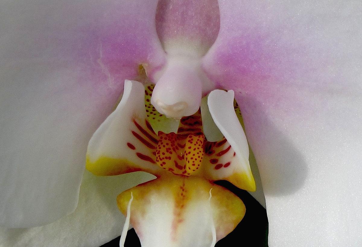 Phalaenopsis Maki Watanabe Carmela 4