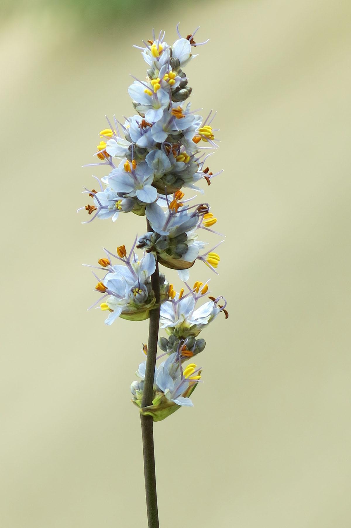 Libertia sessiliflora 5