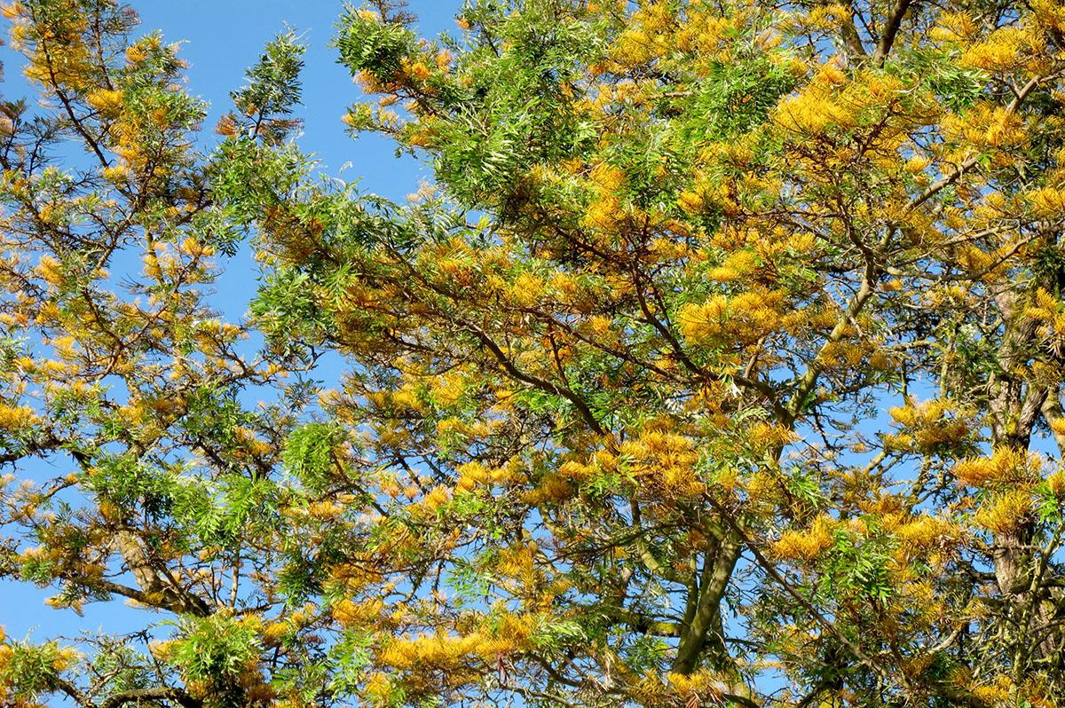 Grevillea robusta 35