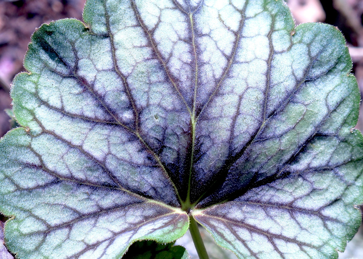 Heuchera Green Spice 6