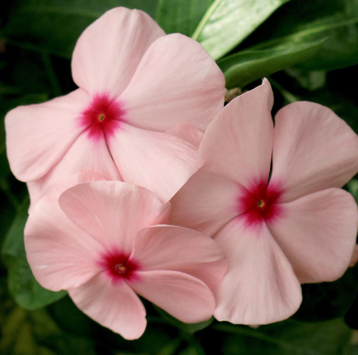 Cataranthus roseus 43