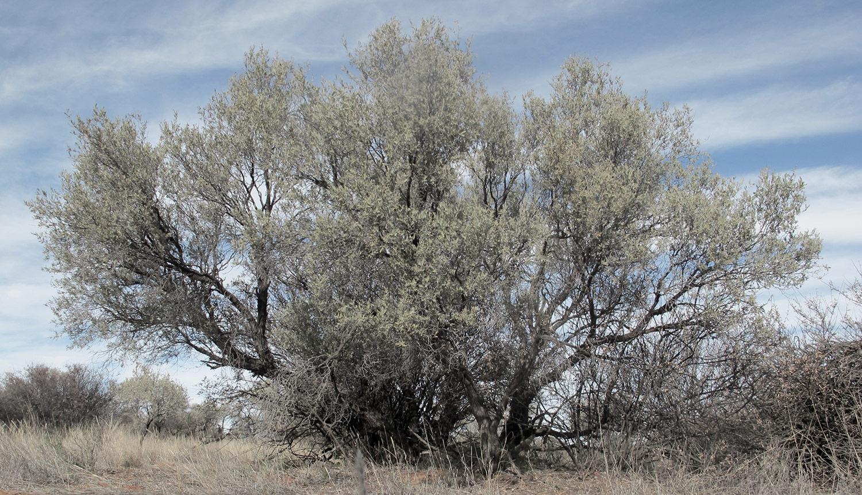 Acacia-haematoxylon-75-