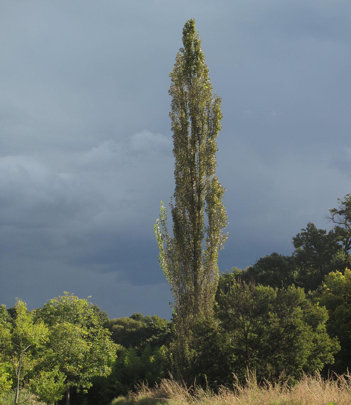 Populus nigra italianica 2