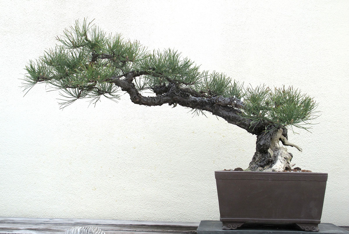 Pinus rigida 18