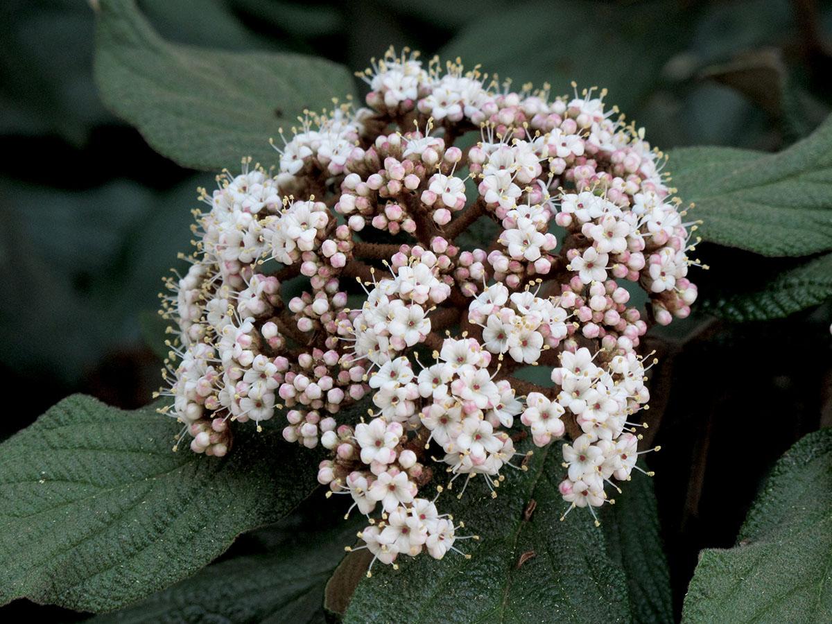 Viburnum rhytidophyllum 13
