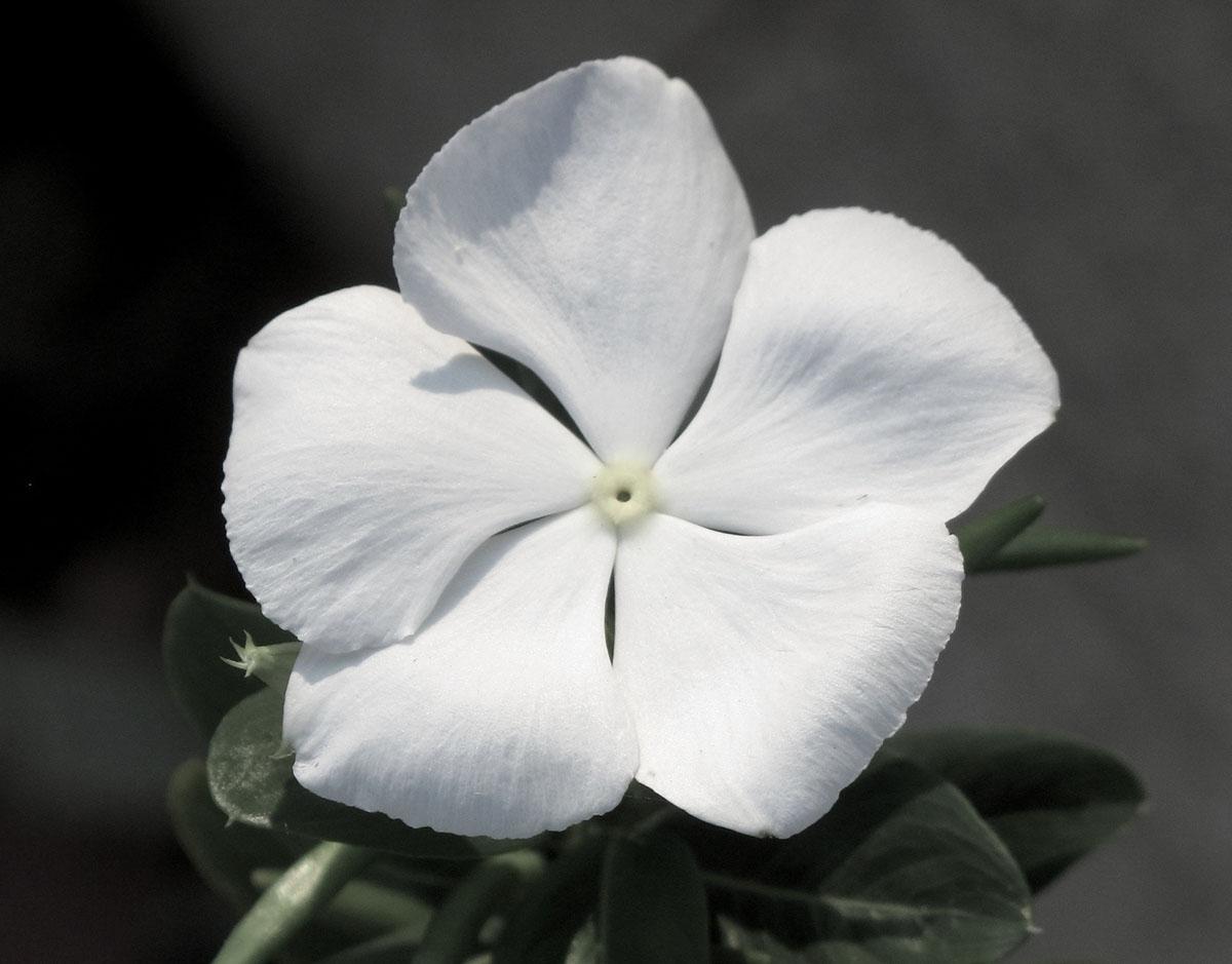 Cataranthus roseus 19