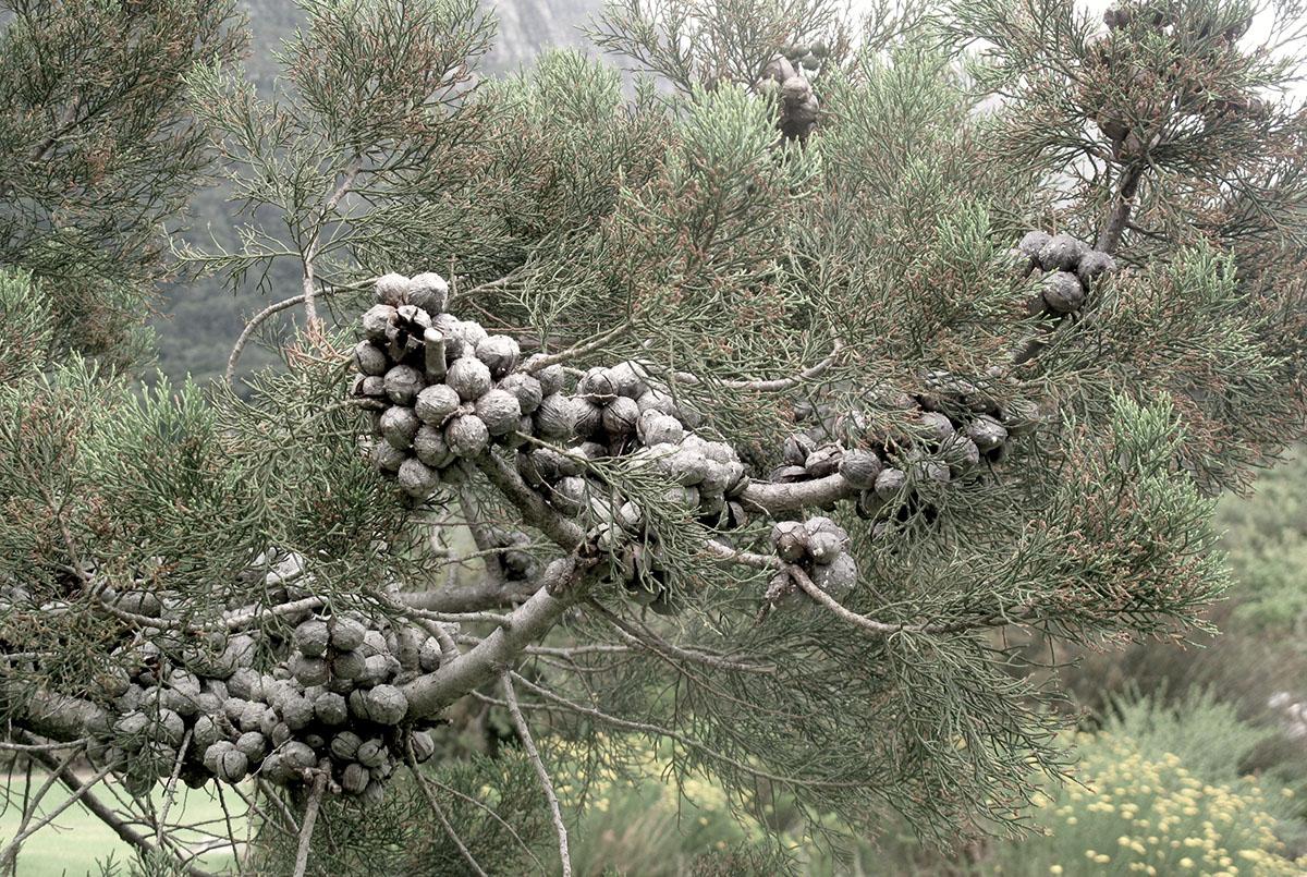 Widdringtonia nodiflora 35