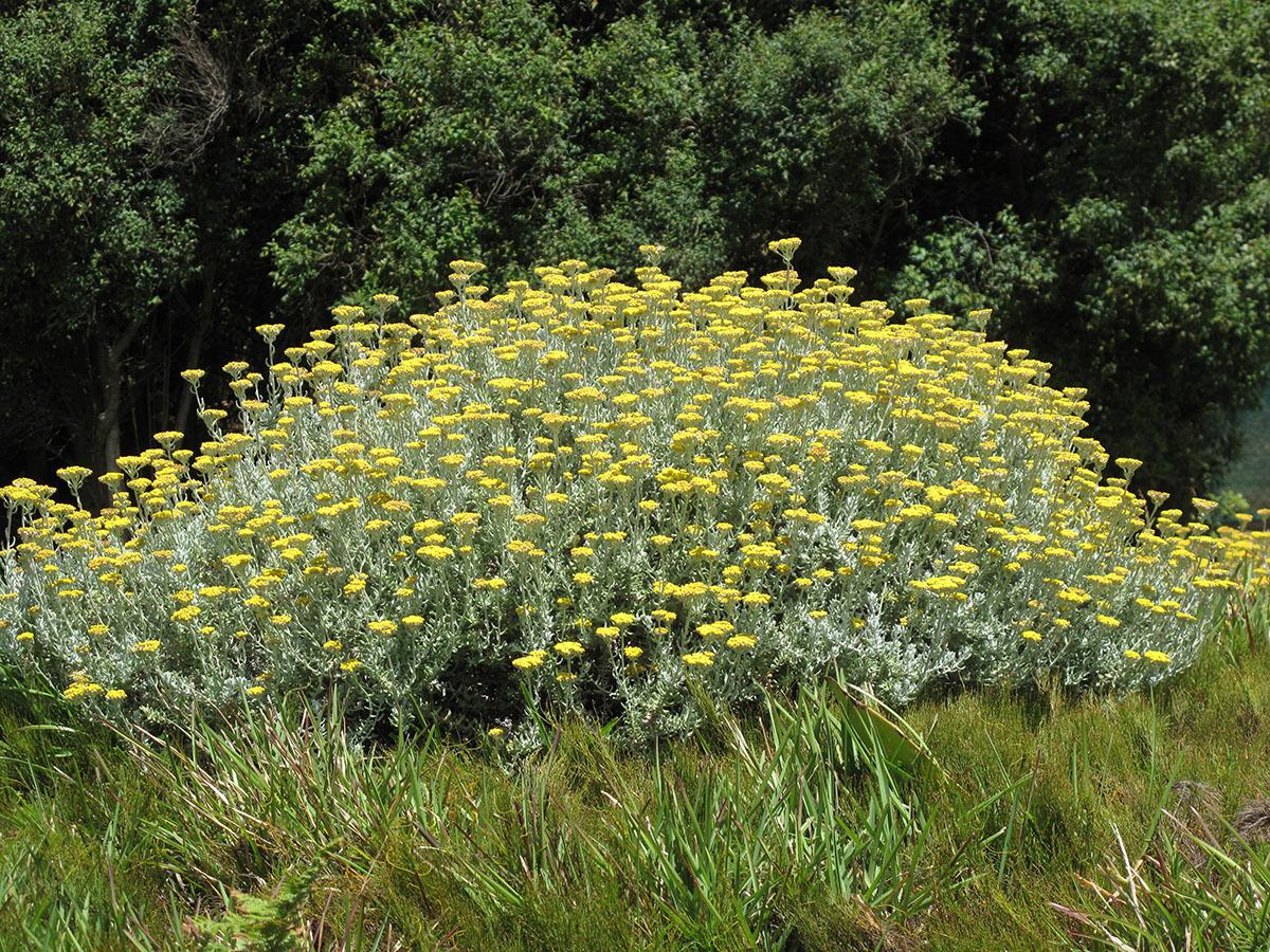 Helichrysum dasyanthum 15