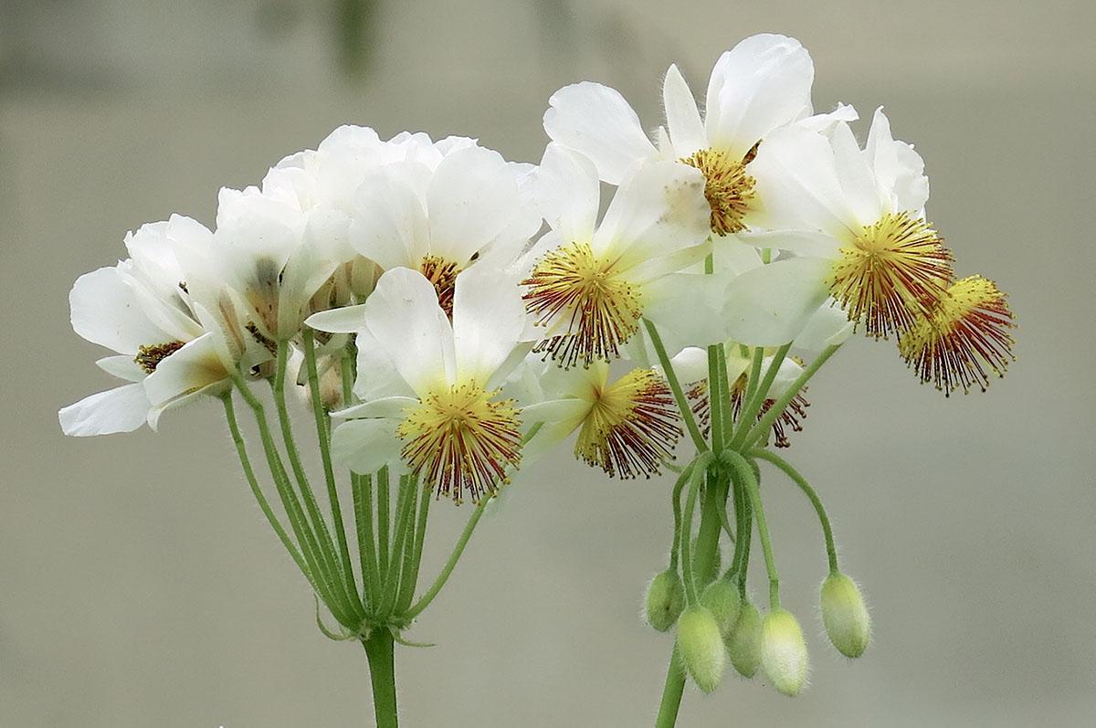 Sparrmannia africana 46