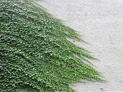 Parthenocissus tricuspidata 34