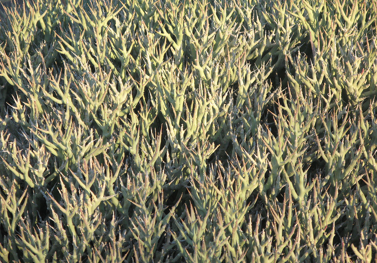 Euphorbia lignosa 30