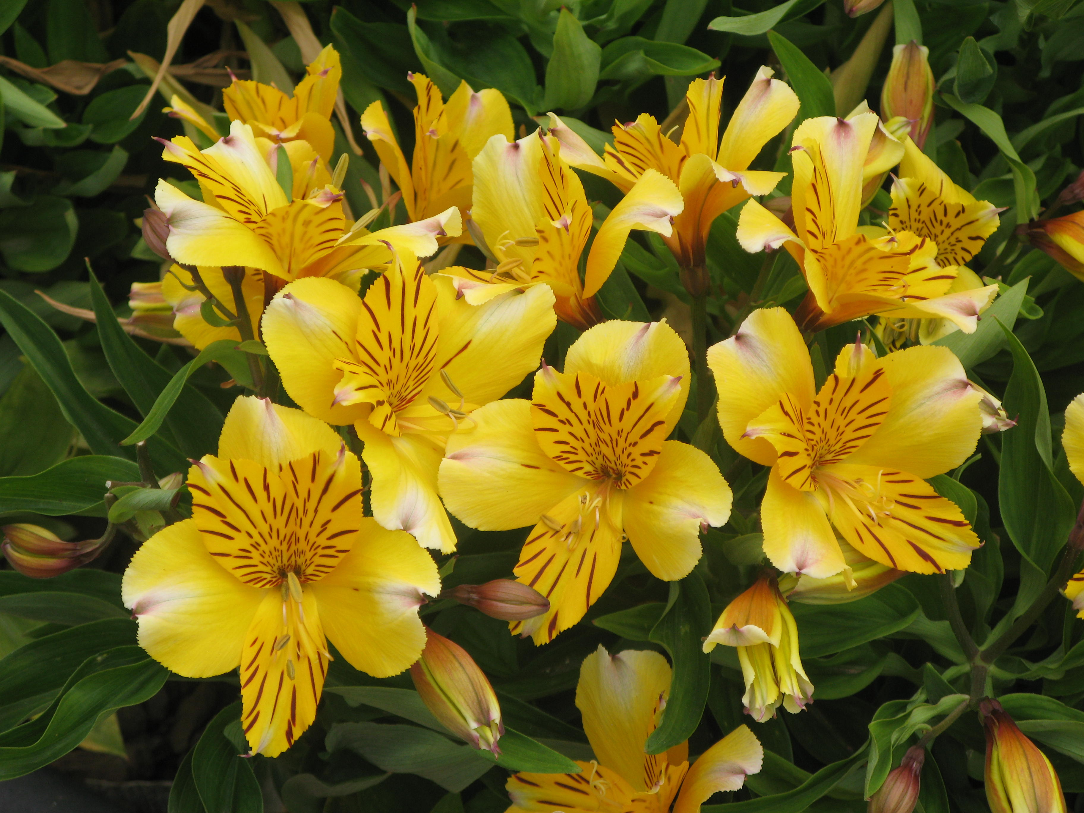 Alstroemeria 'Little Eleanor' 2