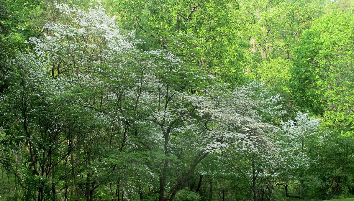 Cornus florida 35