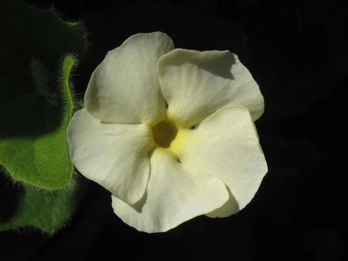 Thunbergia atriplicifolia 7