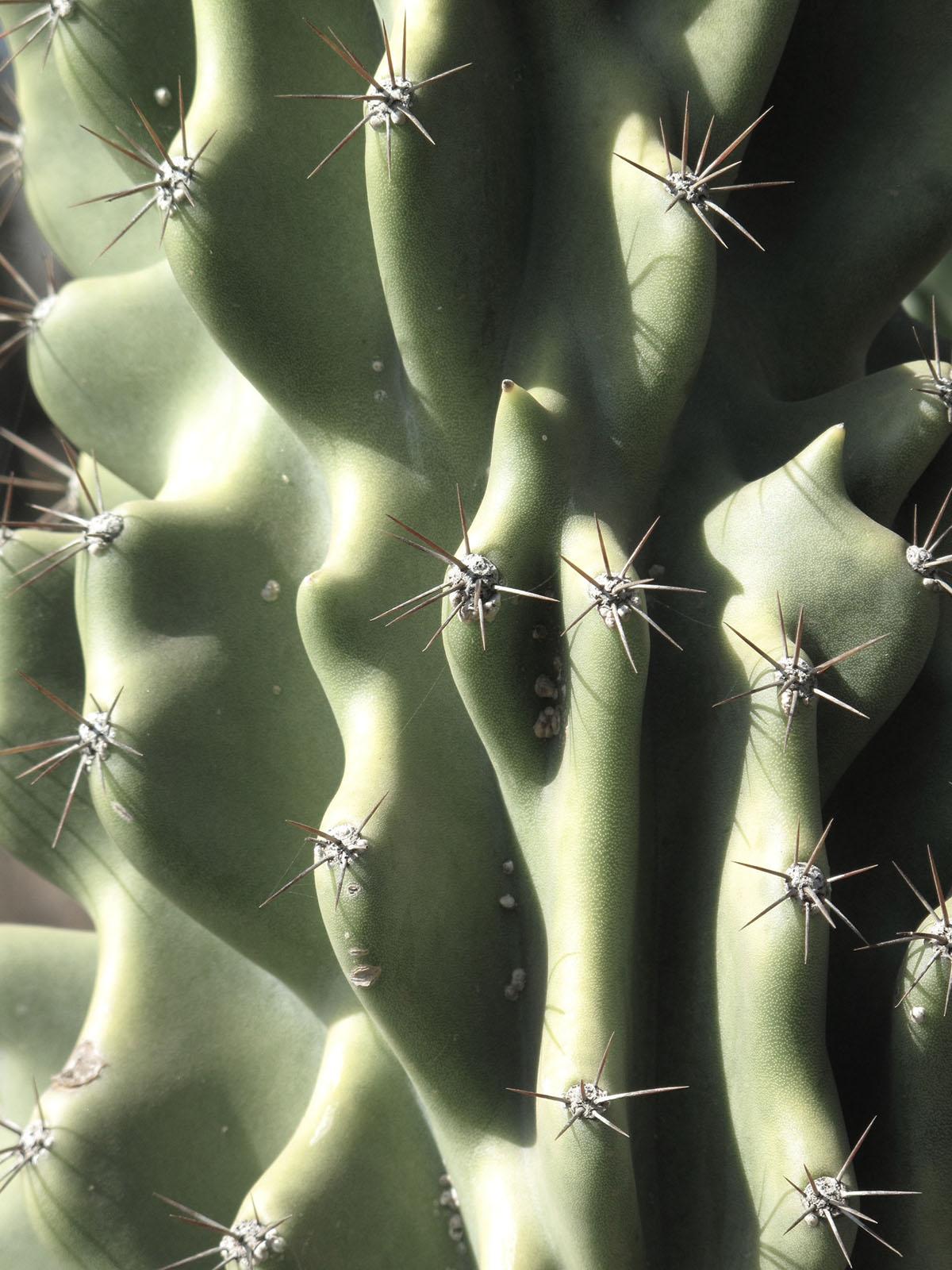 Cereus hildmannianmus 'Monstrous' 13
